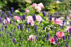 Rosen und Lavendel (c) Archiv MTG Kimmer