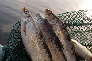 Fangfrische Reinanken aus dem Millstätter See